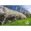 Boomkwekerij M. van den Oever Prunus Spinosa - Sleedoorn