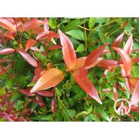 Photinia fraseri 'Red Robin' | Glansmispel