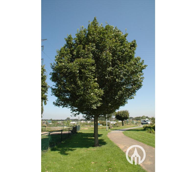 Acer campestre 'Huibers Elegant'