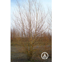 Salix alba 'Chermesina'   Schietwilg