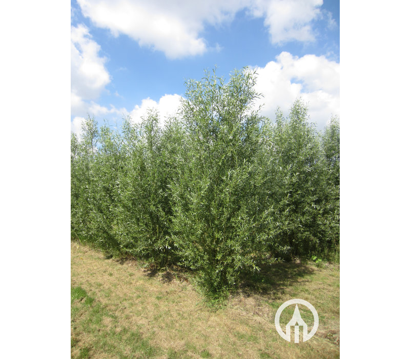 Salix alba | Gewone wilg | Schietwilg | Witte wilg
