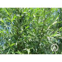 Salix alba   Gewone wilg   Schietwilg   Witte wilg