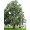 Boomkwekerij M. van den Oever Salix alba | Gewone wilg | Schietwilg | Witte wilg