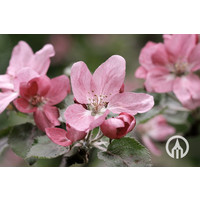 Malus domestica 'Roter Gravesteiner' | Roter Gravesteiner appel