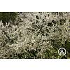 Boomkwekerij M. van den Oever Prunus domestica Opal- Pruim