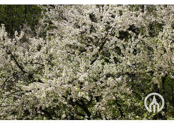 Boomkwekerij M. van den Oever Prunus domestica Opal