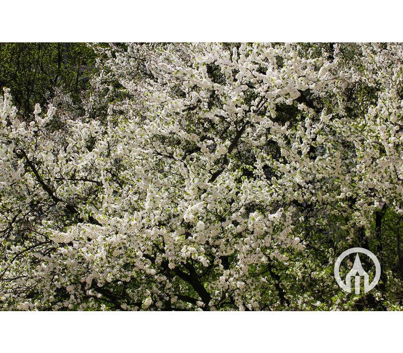 Prunus domestica Opal- Pruim