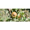 Boomkwekerij M. van den Oever Malus domestica 'Cox Orange Pippin' | Appel
