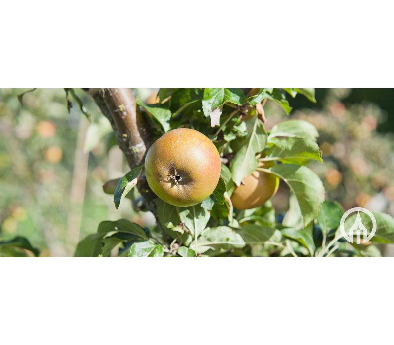 Malus domestica 'Cox Orange Pippin' | Appel