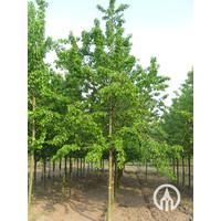 Prunus avium Hedelfinger Riesenkirsche- Kers