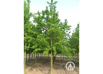 Boomkwekerij M. van den Oever Prunus avium Hedelfinger Riesenkirsche