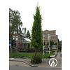 Boomkwekerij M. van den Oever Ginkgo biloba 'Tremonia' | Japanse notenboom