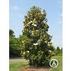 Boomkwekerij M. van den Oever Magnolia grandiflora 'Galissonière' | Beverboom
