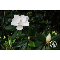 Magnolia grandiflora 'Galissonière' | Beverboom
