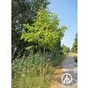 Boomkwekerij M. van den Oever Phellodendron amurense | Amur kurkboom