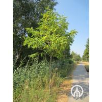 Phellodendron amurense | Amur kurkboom