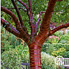 Boomkwekerij M. van den Oever Prunus serrula | Sierkers