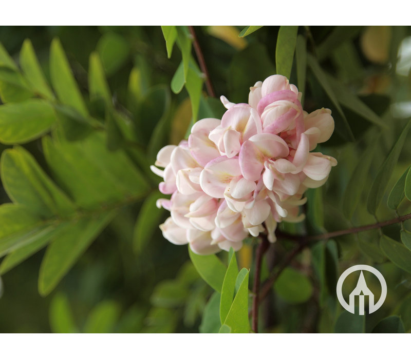 Robinia viscosa | Kleefacacia | Lijmacacia