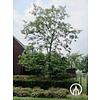 Boomkwekerij M. van den Oever Robinia viscosa | Kleefacacia | Lijmacacia