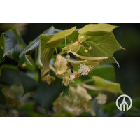 Tilia platyphyllos ´Naarden´ |  Zomerlinde