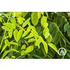 Boomkwekerij M. van den Oever Styphnolobium japonica 'Fleright' | Honingboom