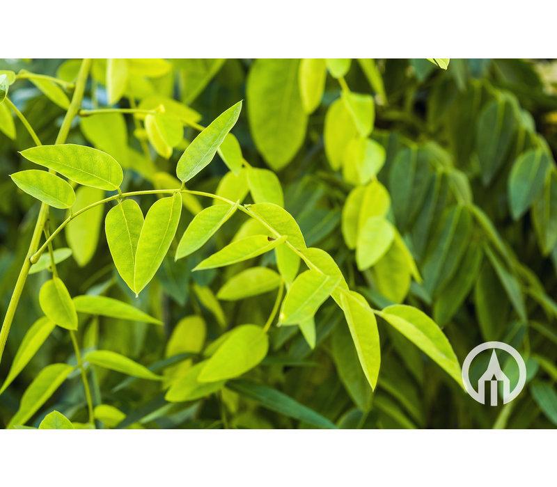 Styphnolobium japonica 'Fleright' | Honingboom