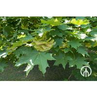 Acer platanoides | Noorse esdoorn - Meerstam