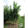 Boomkwekerij M. van den Oever Acer platanoides | Noorse esdoorn - Meerstam