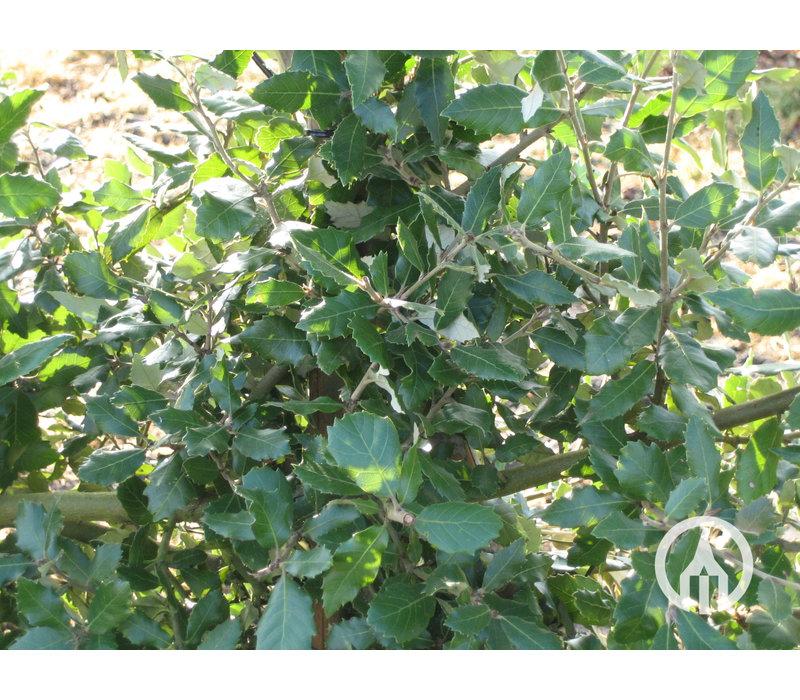 Quercus ilex | Steeneik - Leivorm