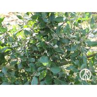 Quercus ilex | Steeneik