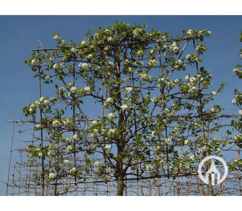 Pyrus calleryana 'Chanticleer' | Peer  - Leivorm