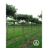 Acer campestre 'Huibers Elegant' | Veldesdoorn | Spaanse Aak - Dakvorm