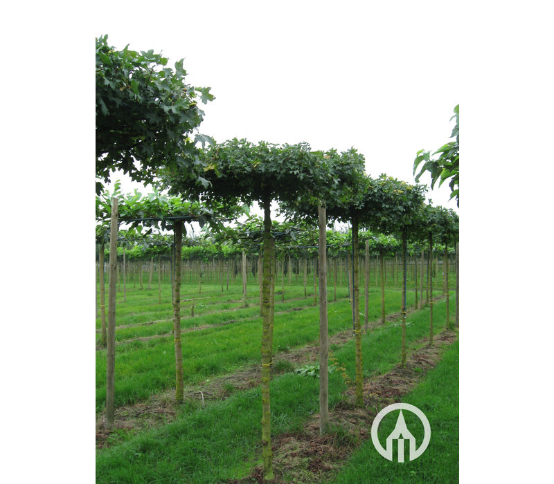 Acer campestre 'Elsrijk'   Veldesdoorn   Spaanse Aak - Dakvorm