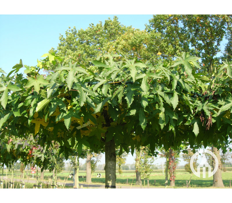 Liquidambar styraciflua 'Worplesdon' | Amberboom - Dakvorm