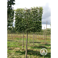 Carpinus betulus | Gewone haagbeuk - Leivorm
