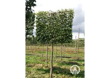 Boomkwekerij M. van den Oever Carpinus betulus  - Leivorm