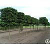 Boomkwekerij M. van den Oever Carpinus betulus | Gewone haagbeuk - Blokvorm