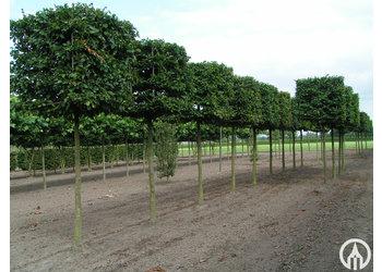 Boomkwekerij M. van den Oever Carpinus betulus  - Blokvorm