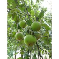 Malus domestica 'Rode van Boskoop' - Rode goudreinet appel
