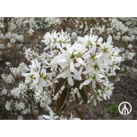 Amelanchier lamarckii | Amerikaans krentenboompje   - Schermvorm