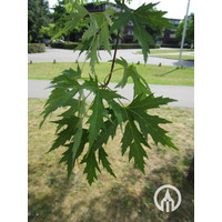 Acer saccharinum 'Born's Gracious' | Zilveresdoorn | Witte Esdoorn
