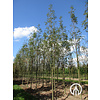 Boomkwekerij M. van den Oever Sorbus arnoldiana  'Golden Wonder' | Lijsterbes