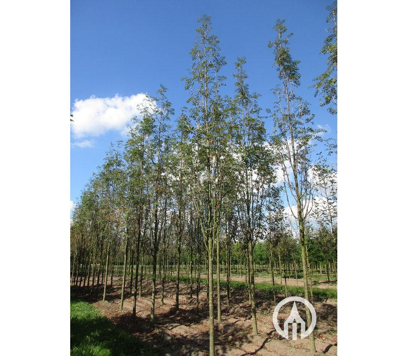 Sorbus arnoldiana  'Golden Wonder' | Lijsterbes