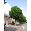 Boomkwekerij M. van den Oever Carpinus betulus 'Fastigiata' | Haagbeuk