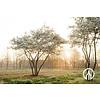 Boomkwekerij M. van den Oever Amelanchier lamarckii | Amerikaans krentenboompje   - Schermvorm