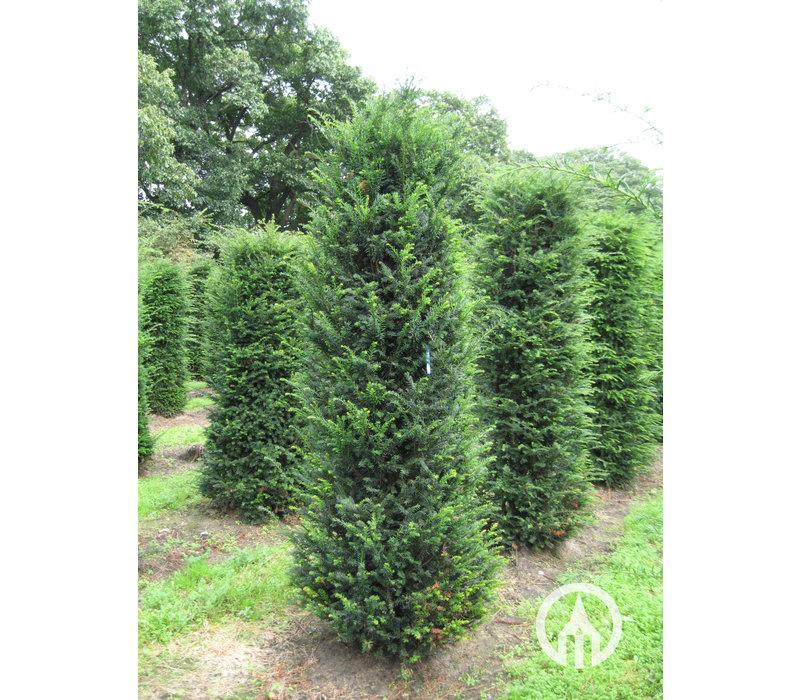 Taxus baccata | Venijnboom | Gewone taxus