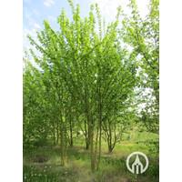 Acer campestre | Spaanse Aak | Veldesdoorn - Meerstam