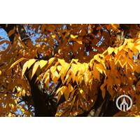 Zelkova serrata | Japanse Zelkova