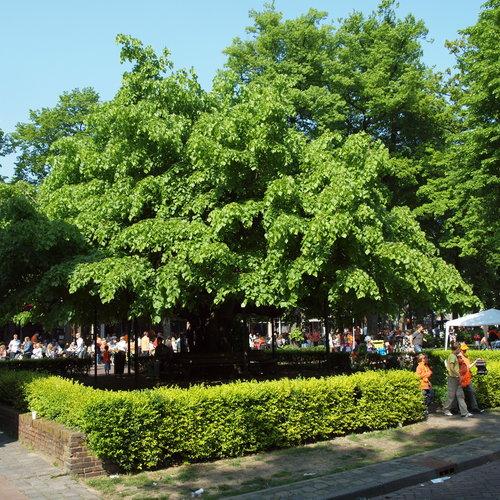 De Linde (Tilia): een feestelijke boom