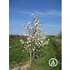 Boomkwekerij M. van den Oever Magnolia stellata | Stermagnolia - Meerstam